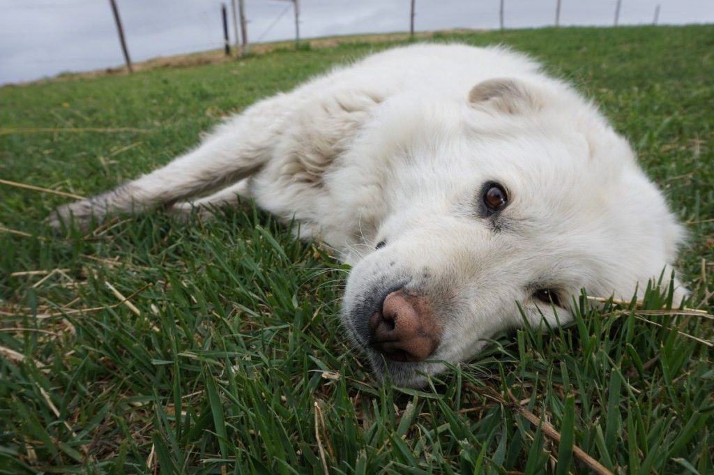 Great Pyrenees ideal food