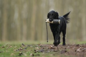 older dog training