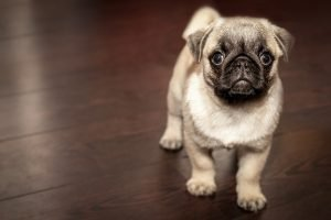 french bulldog standing on the floor