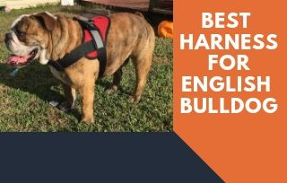English Bulldog Harness Review