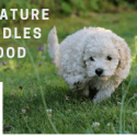 MINIATURE-POODLES-FOOD