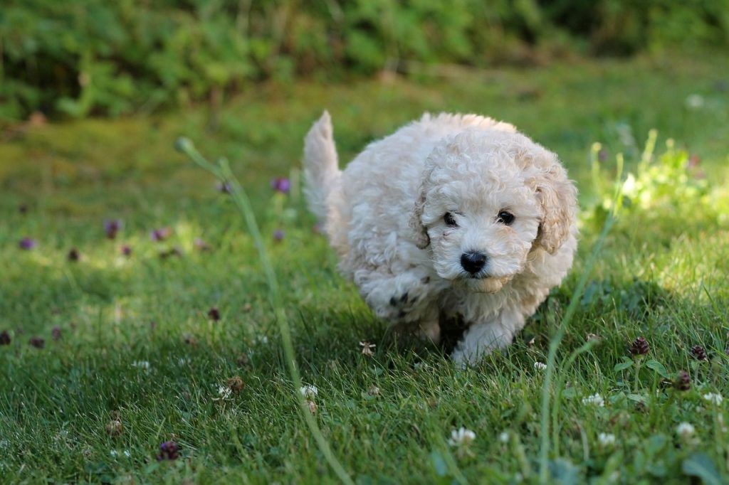 Minature Poodle
