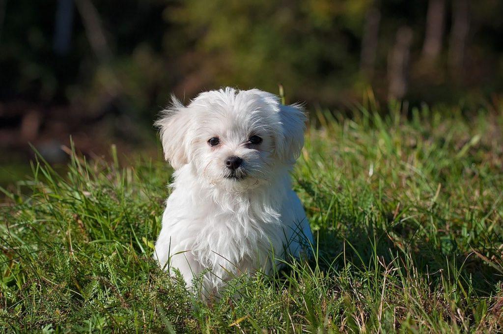 Best Maltese Dog Clipper