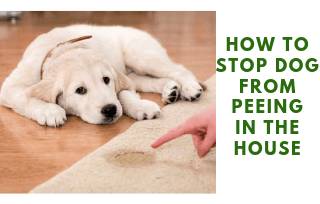 Stop peeing dog in house