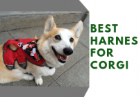 Best Harness For Corgi-Get Control Over The Excitement!