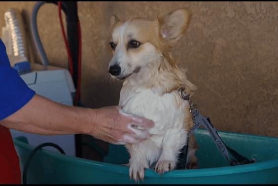 Corgi grooming