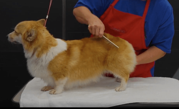Greyhound combing corgi