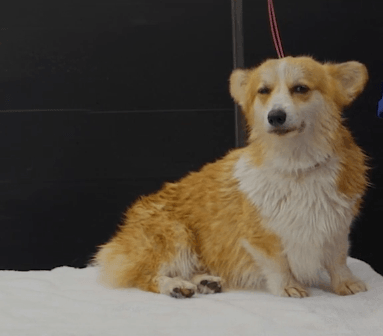 Corgi on Grooming table