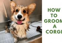 How To Groom a Corgi?