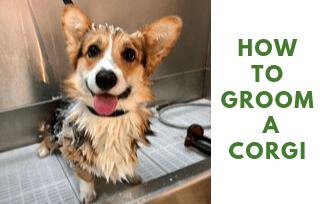 Grooming a corgi
