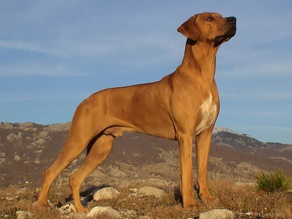 Rhodesian Ridgeback Looking Beyond
