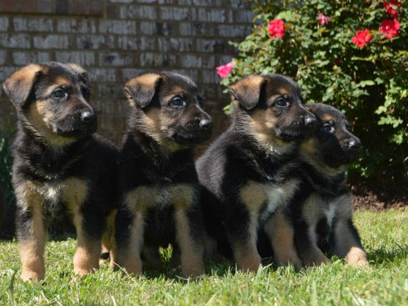 GSD puppy pack