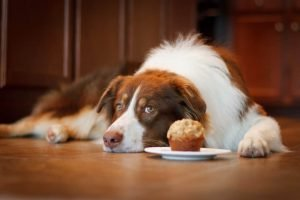 Australian Sheperd with Cake in a plate