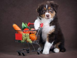 Australian Shepherd with Fruit in Basket