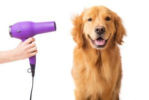 Golden Retriever Smiling with Hair Dryer