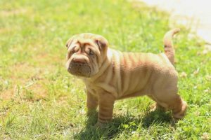 Shar Pei Puppy on the Grass