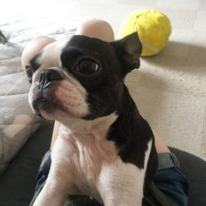 boston terrier dog picture