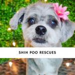 Shih Poo Rescues