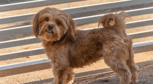 What You Need to Know About Shih Poo's Before Adoption