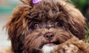 shih poo adoption